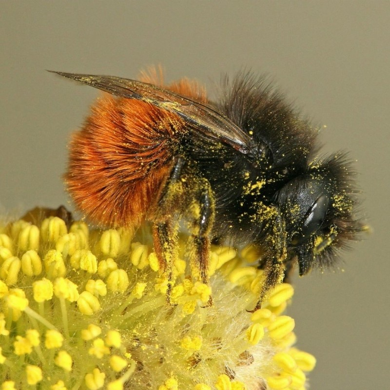 Wilde bijen in je tuin (webinar)   thuis, online
